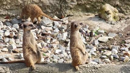Meerkats. Suricata suricatta.