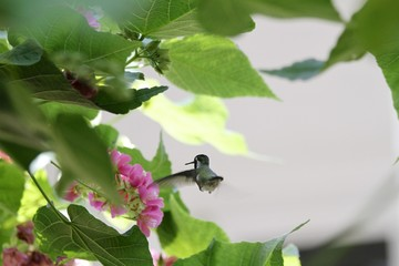 Humming bird flying