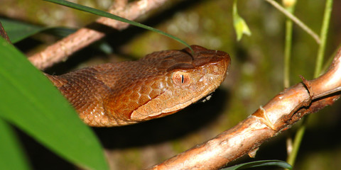 Copperhead Snake United States