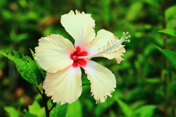 Hibiscus  the plant is native to East Asia