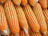 piles of sweet corn, material for corn starch poster