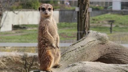 Meerkat at zoo. Suricata Suricatta