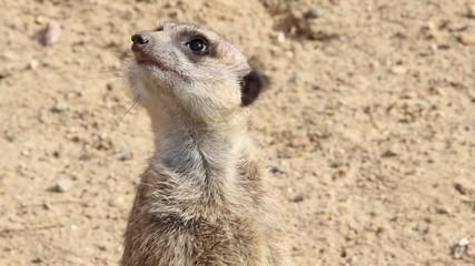 Meerkat. Suricata suricatta. Close up