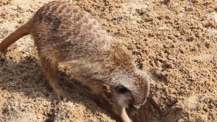 Meerkat searching for food. Suricata suricatta.