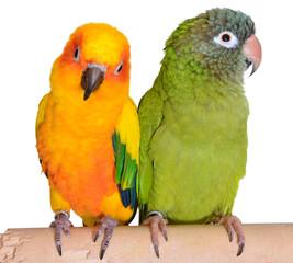 Colorful Conure Parrots