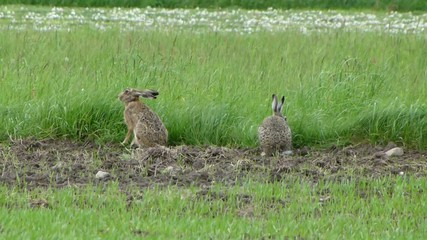 Two wild hares are grazing in the meadow 2