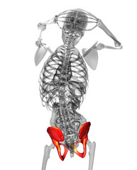 3d render medical illustration of the pelvis bone