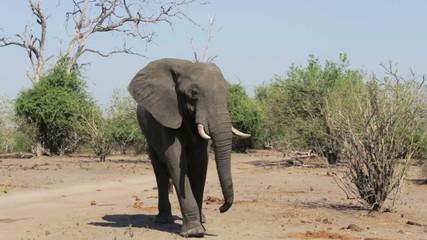 African elephants in bush
