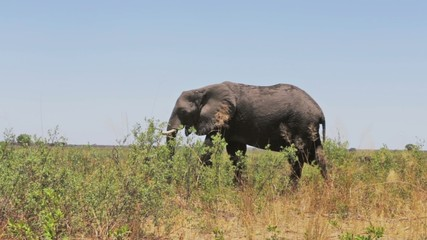 A herd of African elephants in african bush
