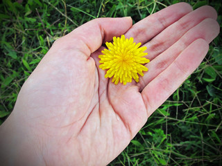 Hand holding a yellow dandelion