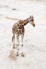 One Rothschild's giraffe