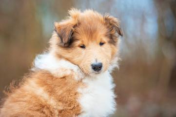 Portrait of rough collie puppy