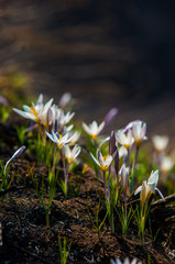 primrose snowdrop