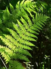 felce aquilina (Pteridium aquilinum)