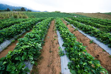 plantation Strawberry