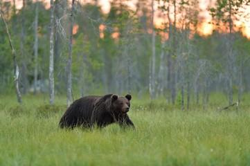 European brown bear walking in the bog at sunset