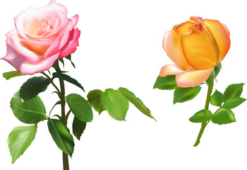 orange and pink rose two flowers isolated on white