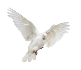 flying isolated white color dove