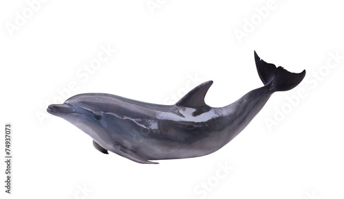 Fototapeta dark gray isolated dolphin