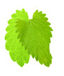 two isolated green mint leaves