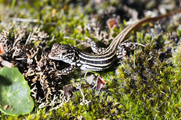 Lizard. Psammodromus algirus in Cadalso de los Vidrios.Madrid.