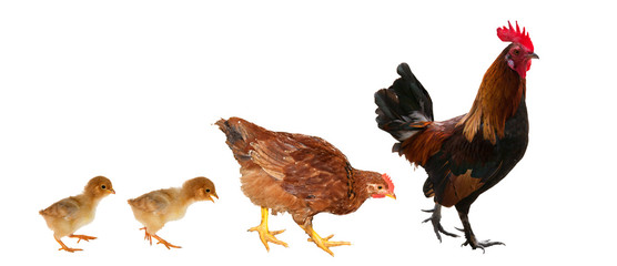 chicken family isolated on white