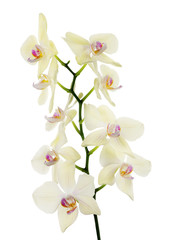 isolated fine light lemon orchids isolated branch
