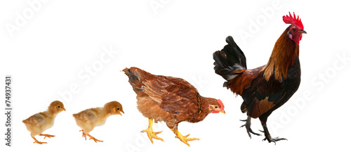 Foto op Canvas Kip chicken family isolated on white