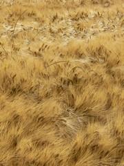 campo di grano maturo