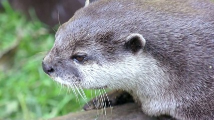 Otter shakes his head