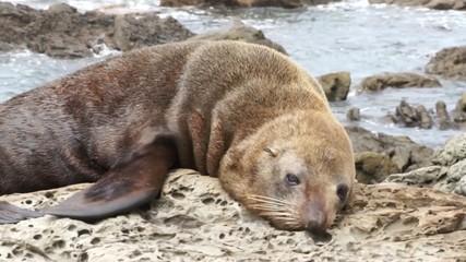 Seal lying oceanfront