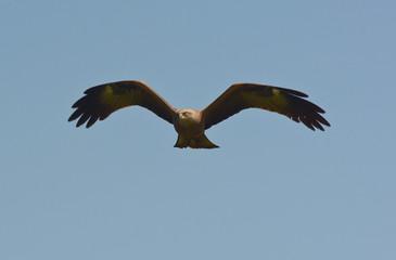 nibbio bruno (Milvus migrans) in volo