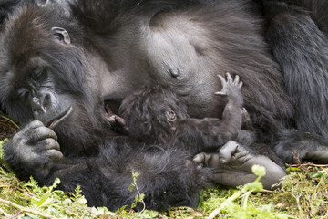 gorilla mum with baby