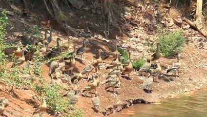 Plumed Whistling Duck (Dendrocygna eytoni) in Australia