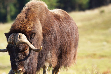 Male musk ox looking