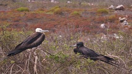 Figatebirds in Galapagos Islands
