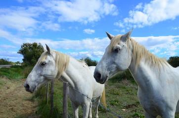 Le Camargue, cheval de selle