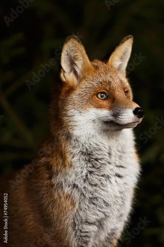 Fuchs vor Dickicht - 74954052