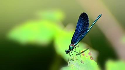 Dragonfly on green foliage leaf, Closeup