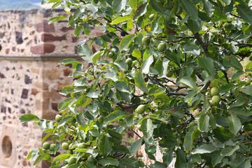 Walnussbaum an Burgturm