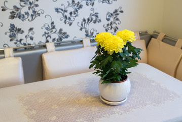 Beautiful chrysanthemum in pot on  dining table