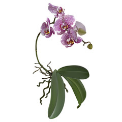 Phalaenopsis and a branch of lilac flowers, leaves, roots