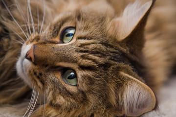 Main Coon Katze liegend