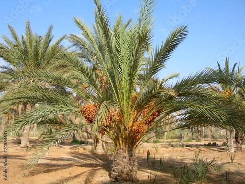 Papiers peints Palmier The date palm tree