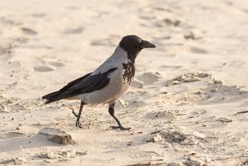 crow walking down the beach sand