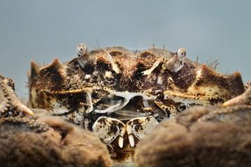 Chinese mitten crab Eriocheir sinensis in a studio