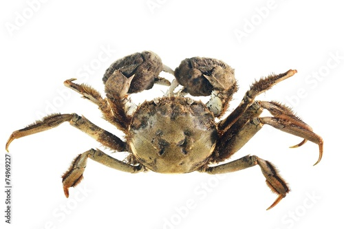 Chinese mitten crab Eriocheir sinensis isolated on white - 74969227