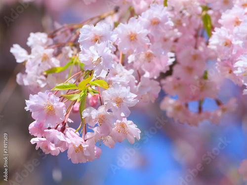 Poster Kersen Cherry blossoms