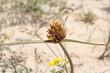 Flowers and leaves of Cyperus capitatus