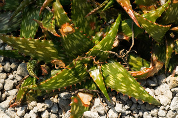Aloe somaliensis,  XANTHORRHOEACEAE, South Africa
